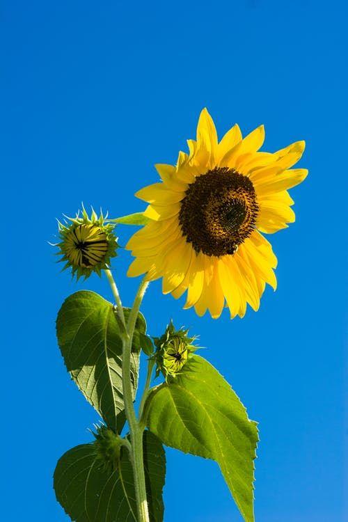 flower-sunflower-sky-blue-39019.jpeg