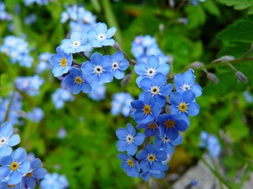 forget-me-not-flower-meadow-wild-flower-87637.jpeg