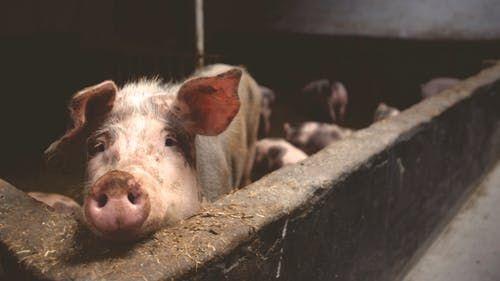 猪猪.jpeg